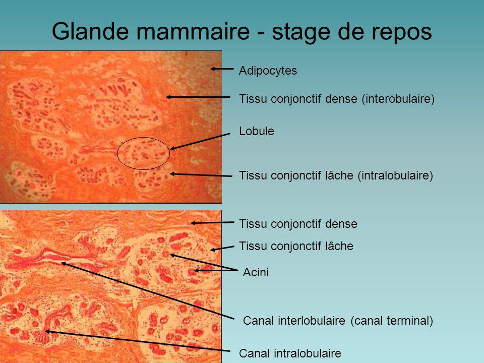 Glande mammaire - stage de repos