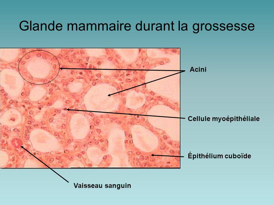 Glande mammaire durant la grossesse