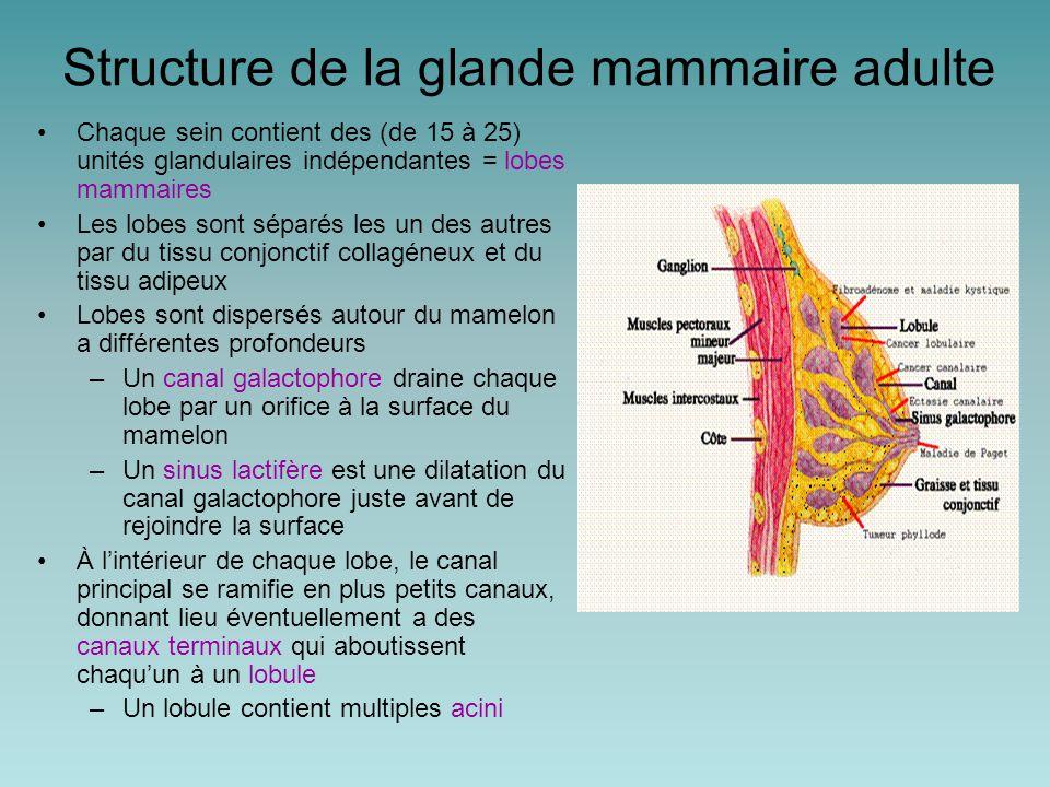 Structure de la glande mammaire adulte