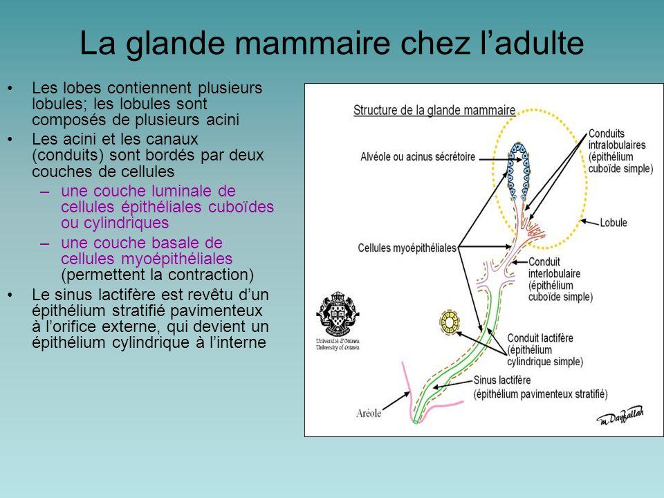 La glande mammaire chez l'adulte