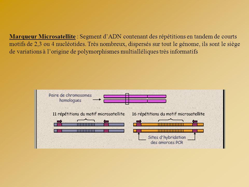 Marqueur Microsatellite : Segment d'ADN contenant des répétitions en tandem de courts