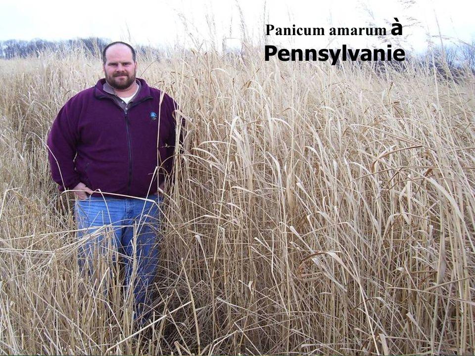 Panicum amarum à Pennsylvanie