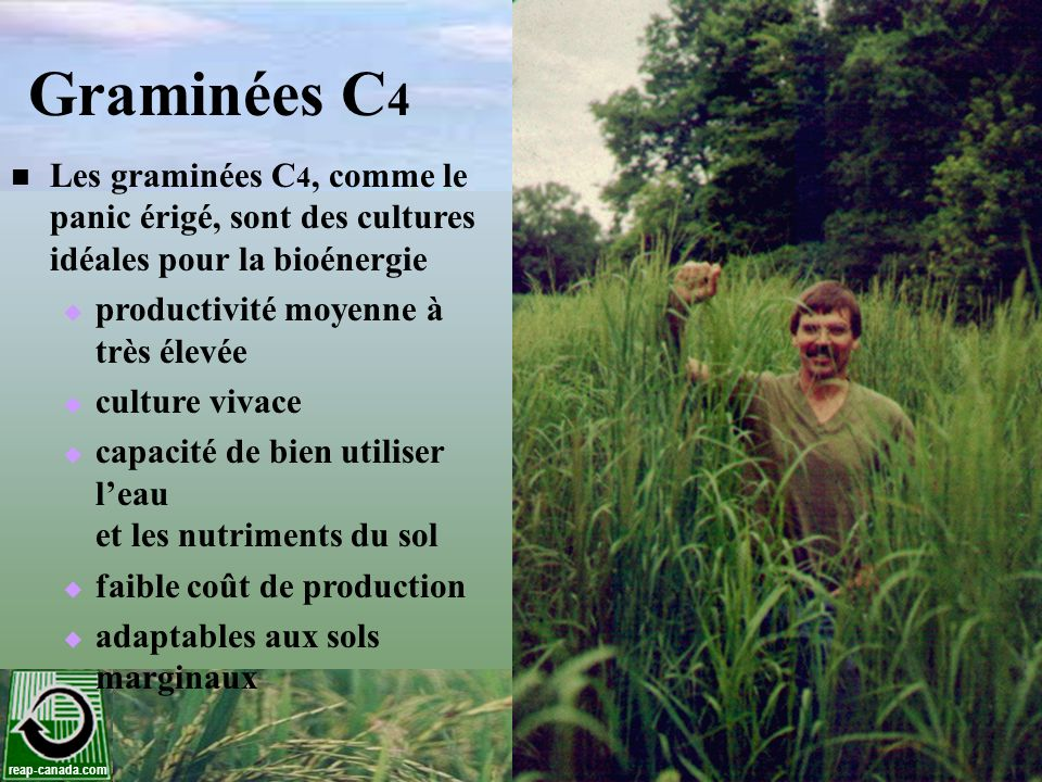 Graminées C4 Les graminées C4, comme le panic érigé, sont des cultures idéales pour la bioénergie.