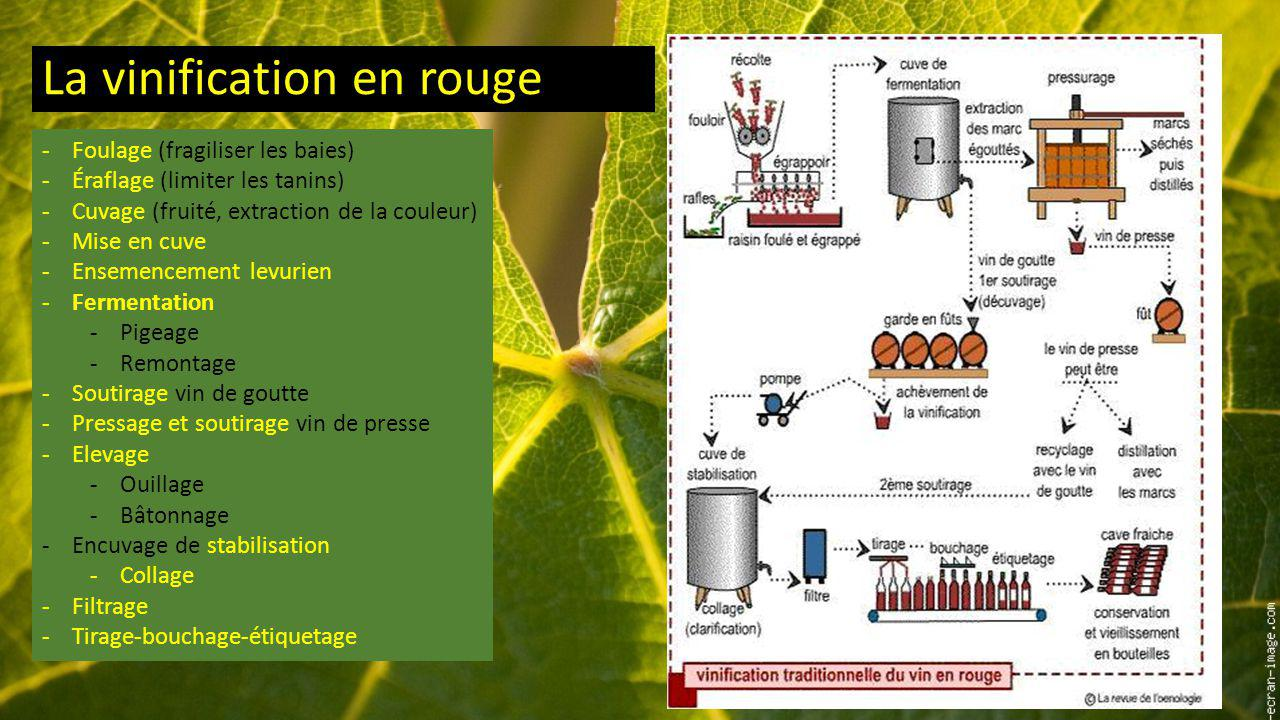 La vinification en rouge