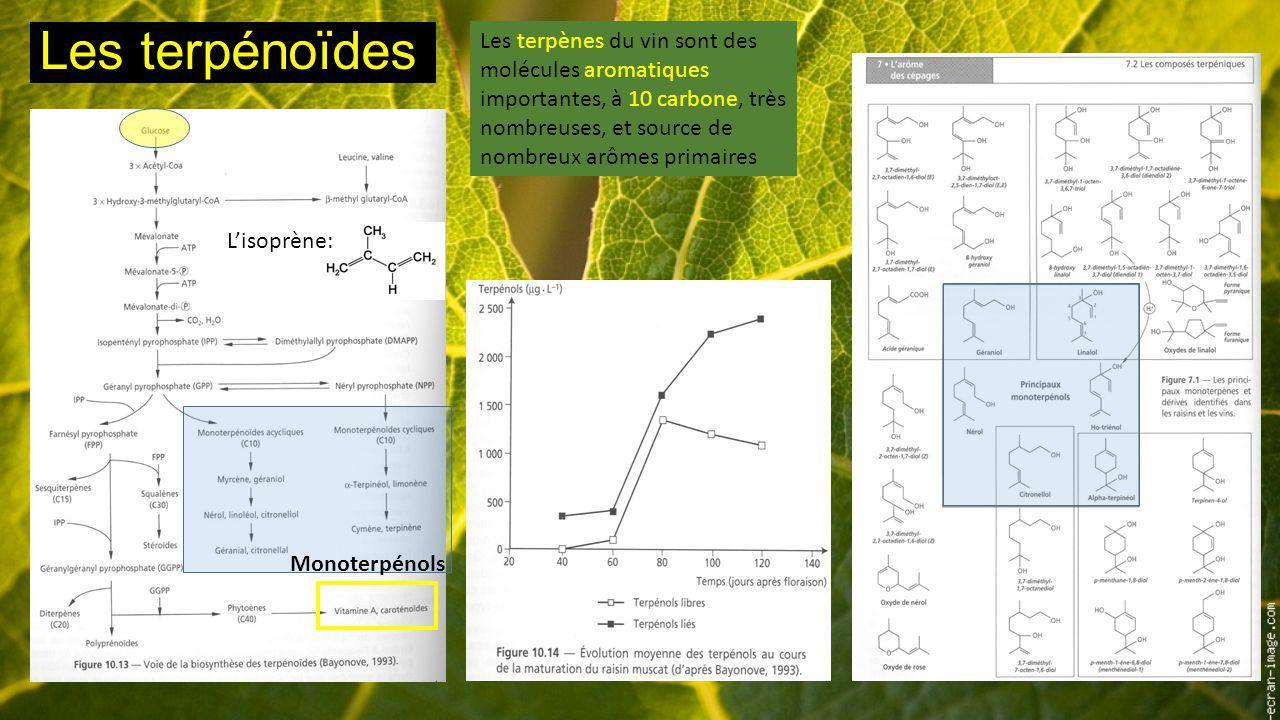 Les terpénoïdes Les terpènes du vin sont des molécules aromatiques importantes, à 10 carbone, très nombreuses, et source de nombreux arômes primaires.