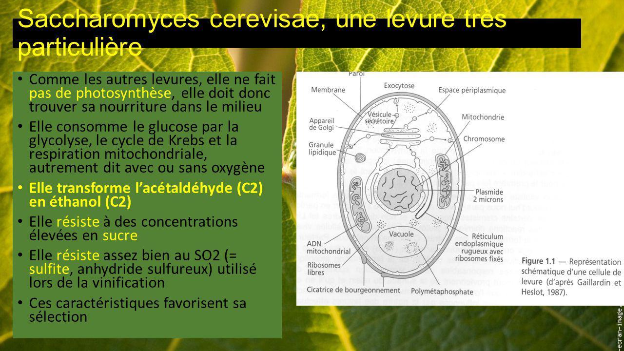 Saccharomyces cerevisae, une levure très particulière