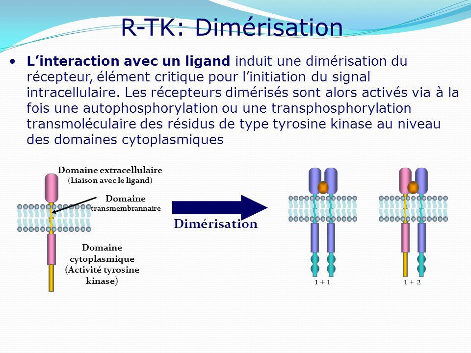 (Liaison avec le ligand) (Activité tyrosine kinase)
