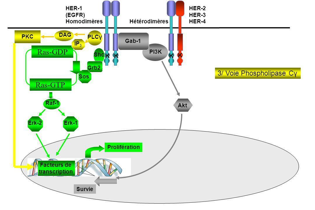 Ras-GDP Ras-GTP 3/ Voie Phospholipase Cγ K HER-1 (EGFR) Homodimères