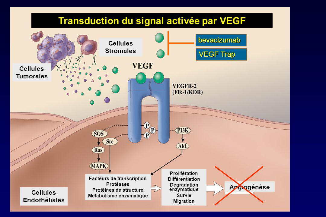 Transduction du signal activée par VEGF