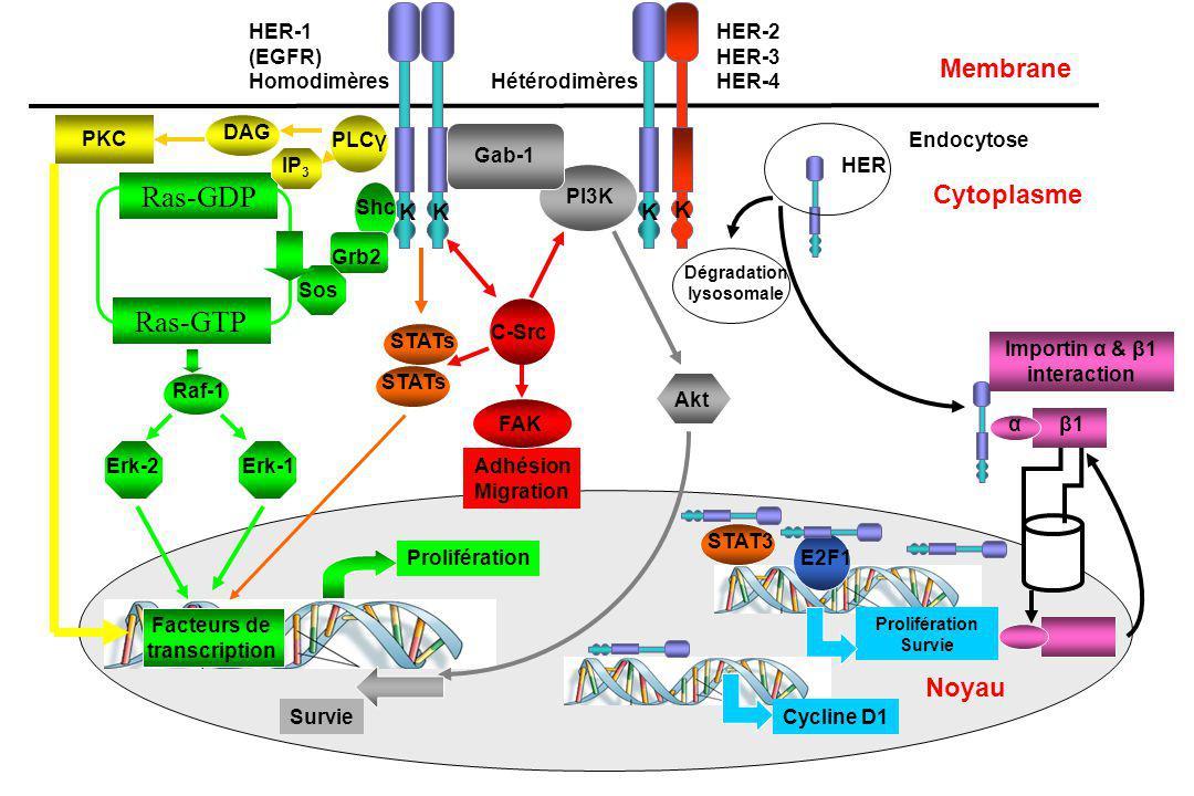 Ras-GDP Ras-GTP Membrane Cytoplasme Noyau K HER-1 (EGFR) Homodimères