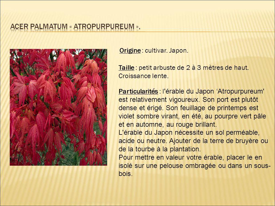 Acer palmatum « atropurpureum ».