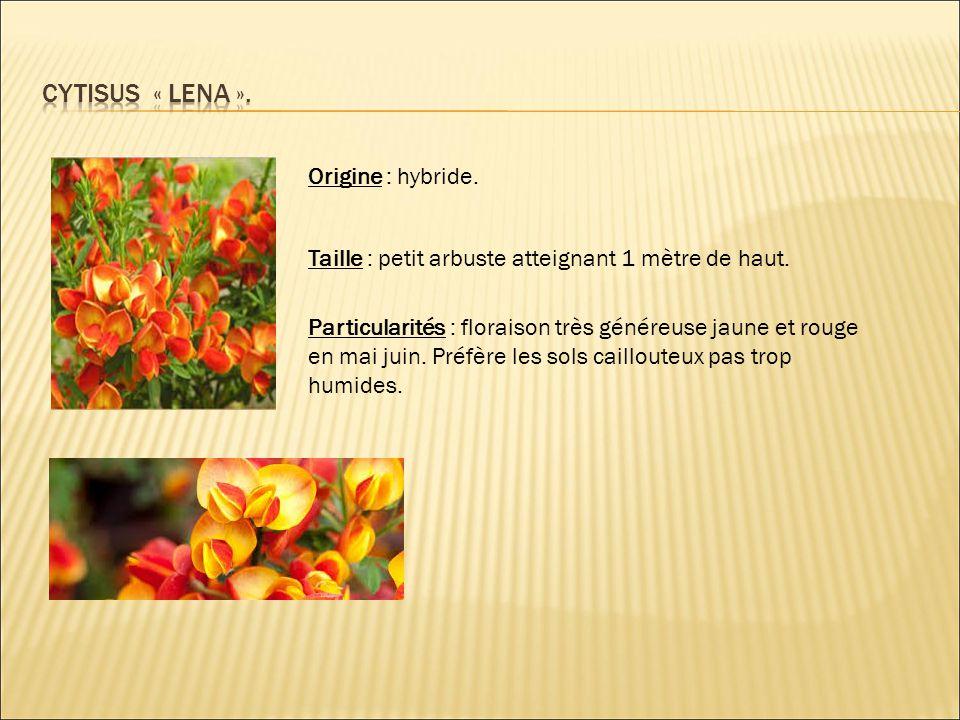 Cytisus « LENA ». Origine : hybride.