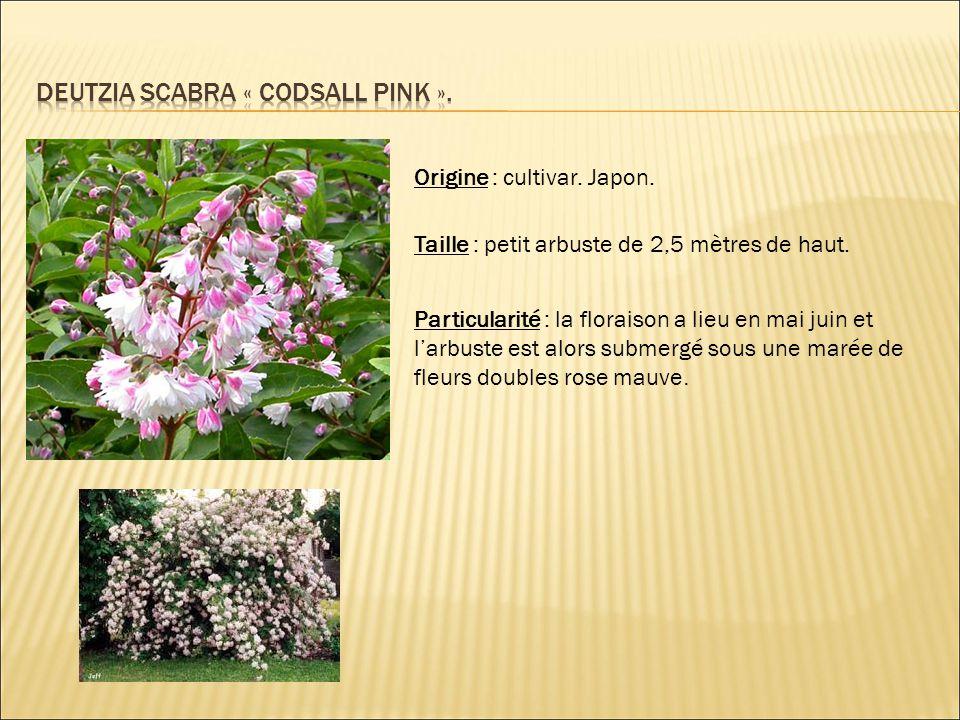 Deutzia scabra « codsall pink ».