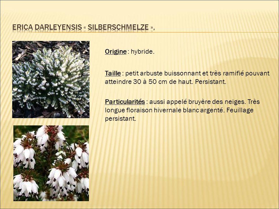 Erica darleyensis « silberschmelze ».