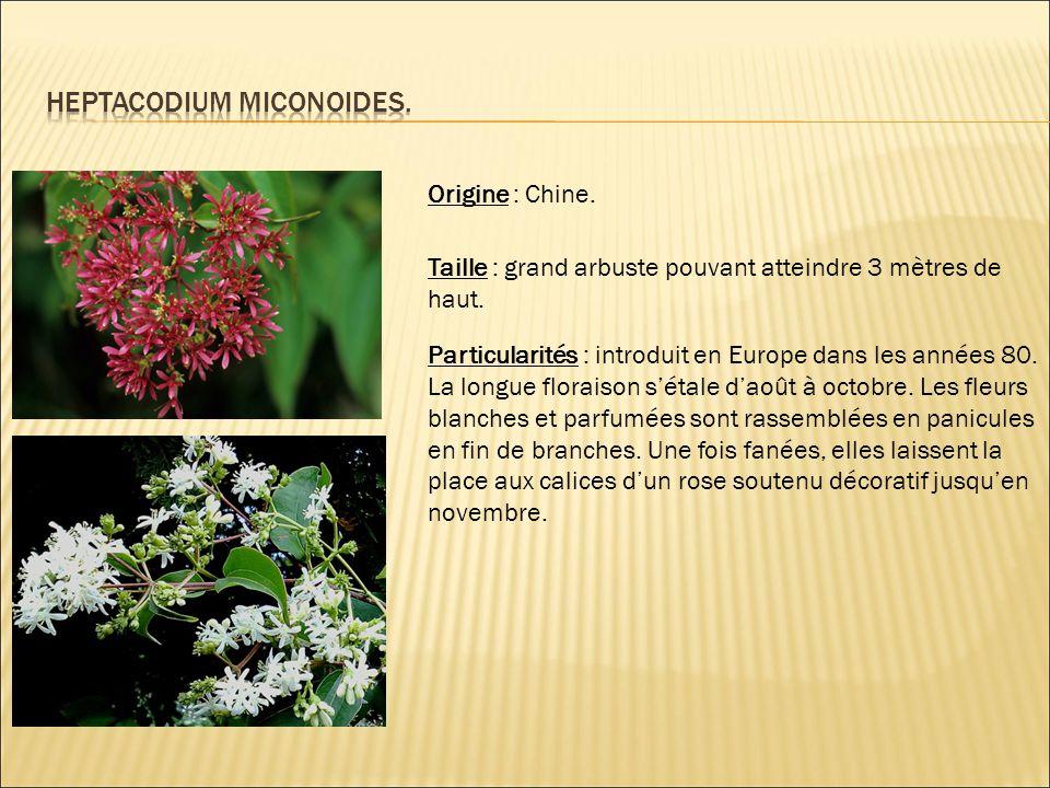 Heptacodium miconoides.