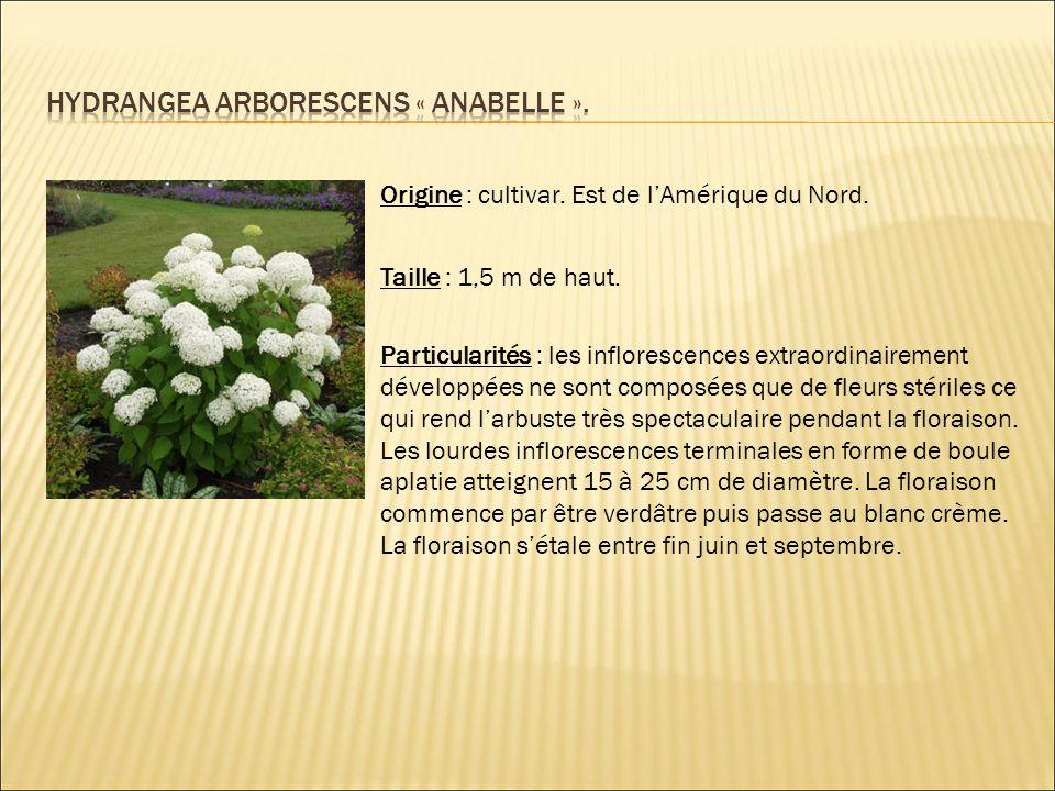 Hydrangea arborescens « anabelle ».