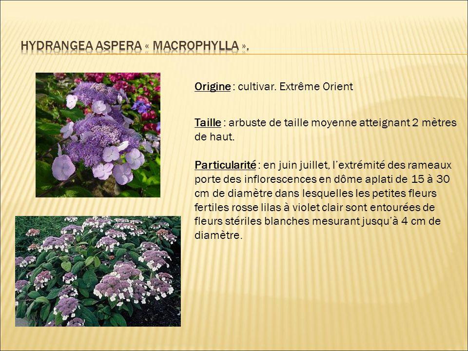 HYDRANGEA aspera « macrophylla ».