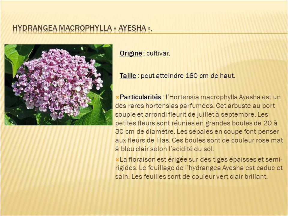 Hydrangea macrophylla « ayesha ».