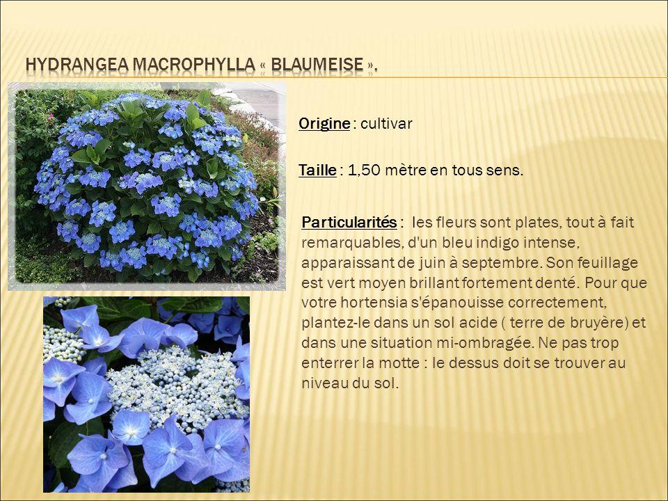 Hydrangea macrophylla « blaumeise ».
