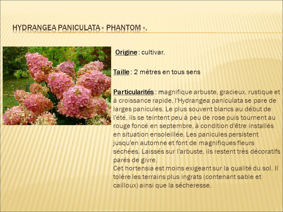 Hydrangea paniculata « phantom ».