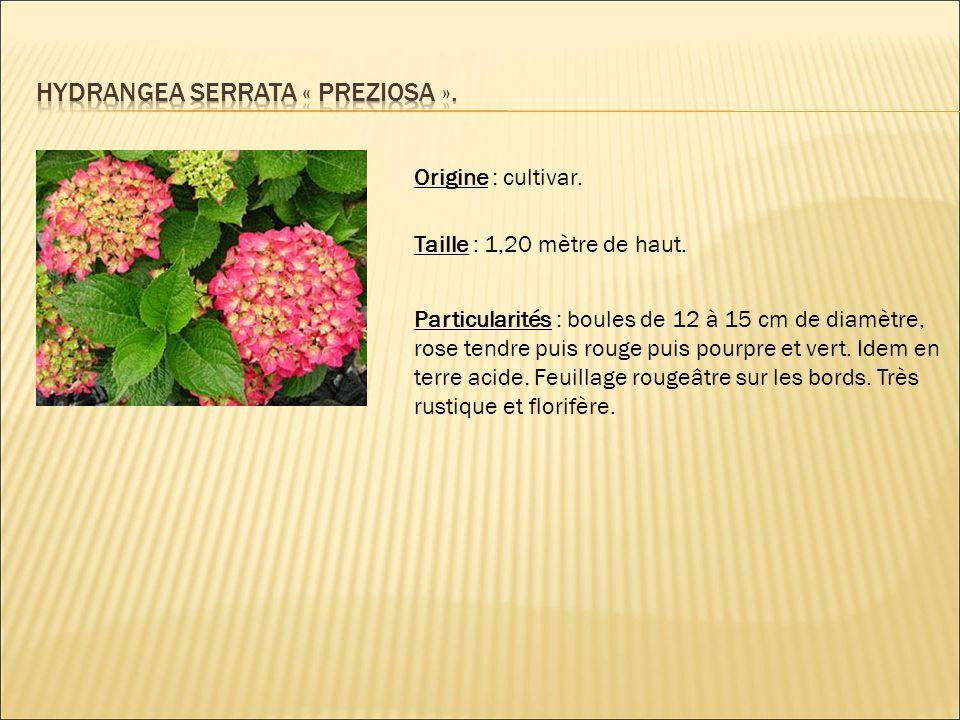 Hydrangea serrata « preziosa ».