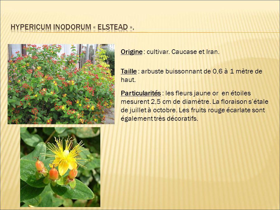 Hypericum inodorum « elstead ».