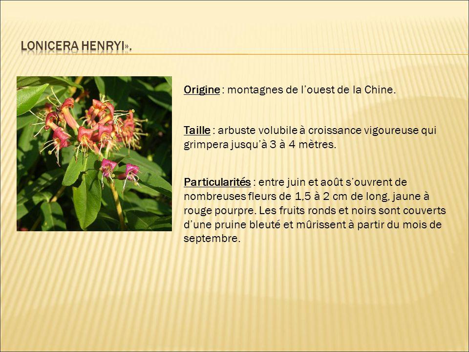 Lonicera henryi». Origine : montagnes de l'ouest de la Chine.