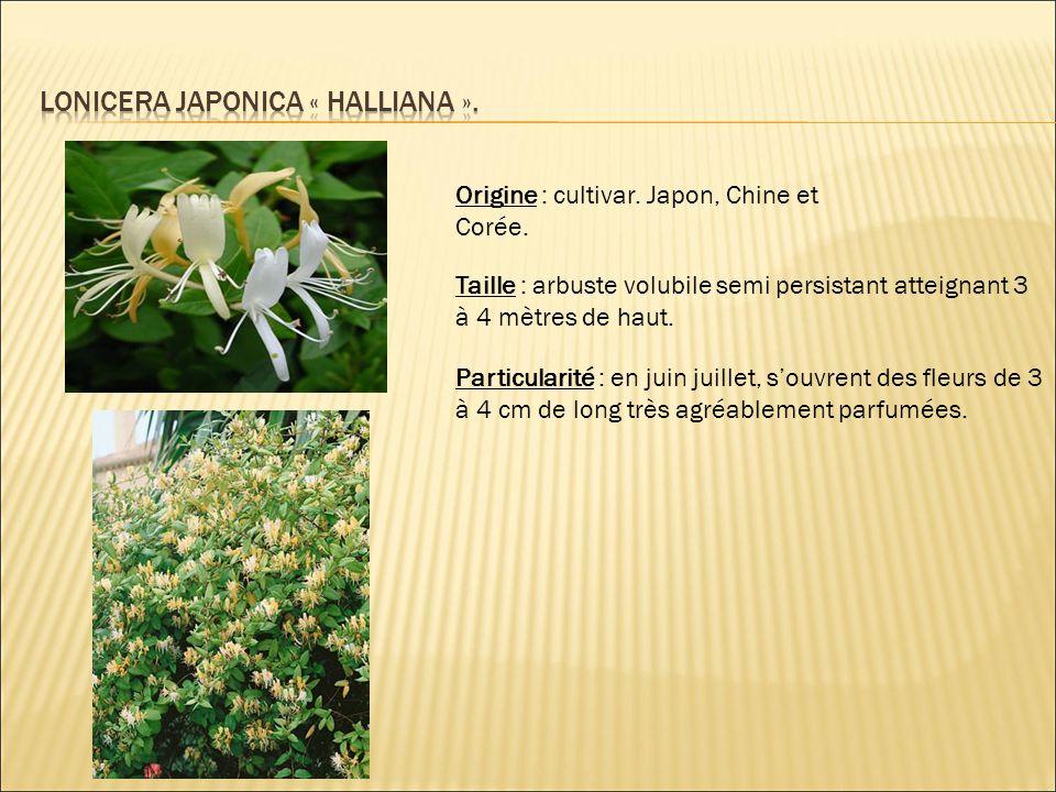 Lonicera japonica « halliana ».