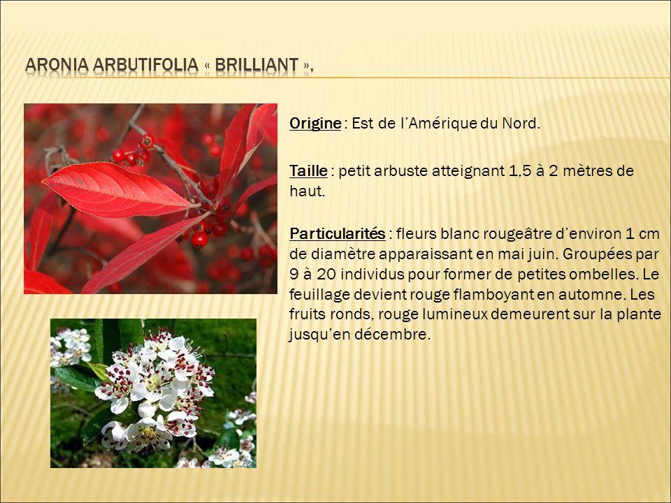 ARONIA ARBUTIFOLIA « BRILLIANT ».