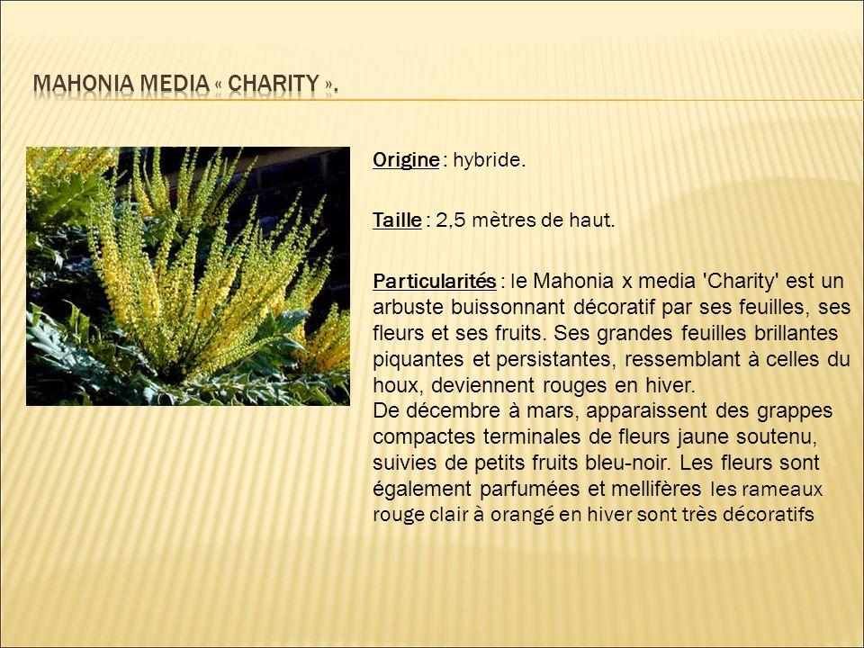 Mahonia media « charity ».