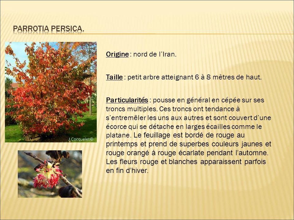 Parrotia persica. Origine : nord de l'Iran.