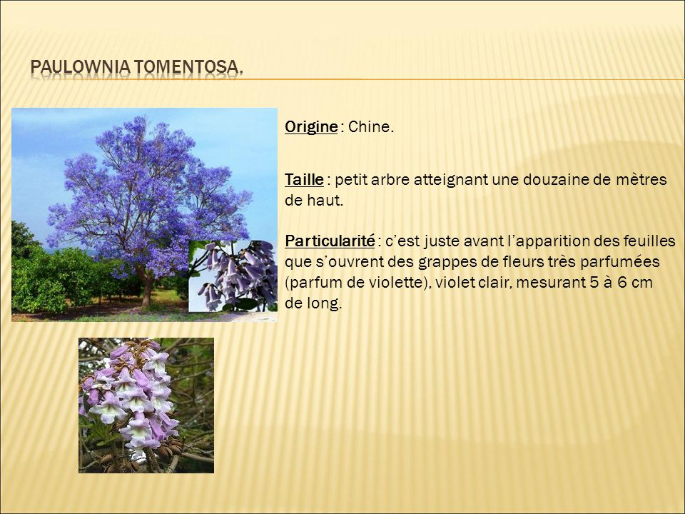 Paulownia tomentosa. Origine : Chine.