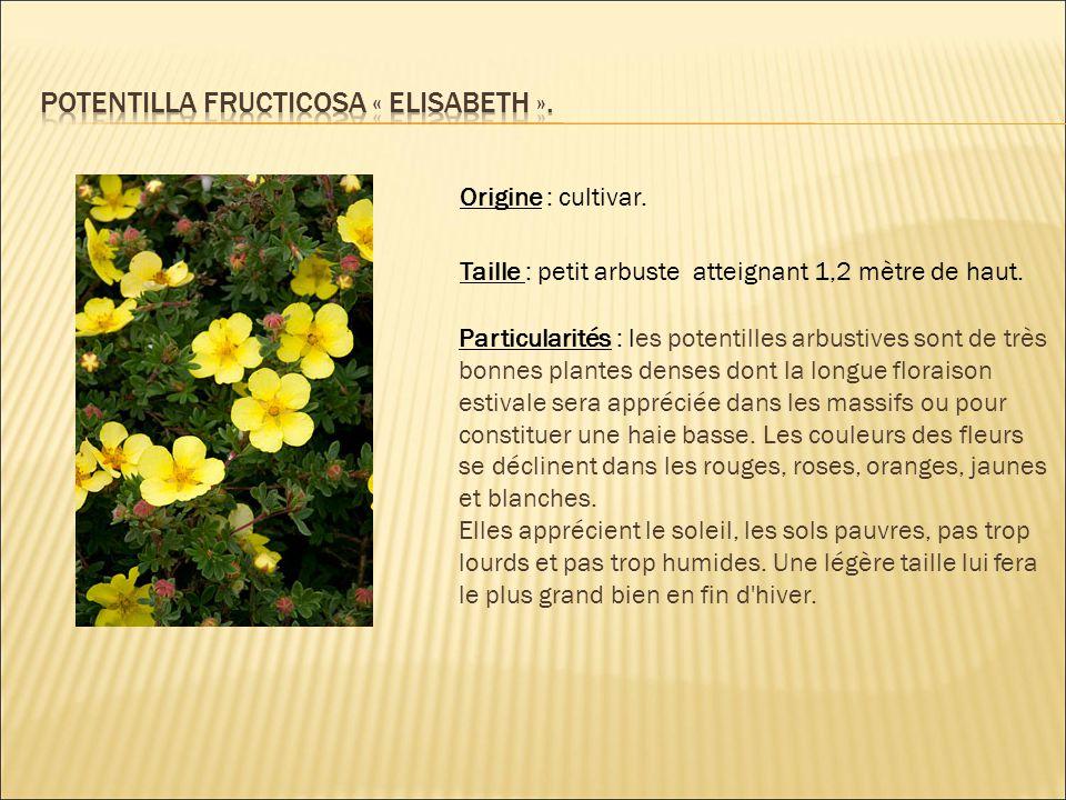 Potentilla fructicosa « elisabeth ».