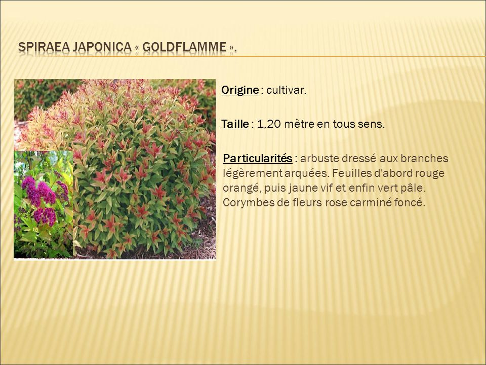 Spiraea japonica « goldflamme ».