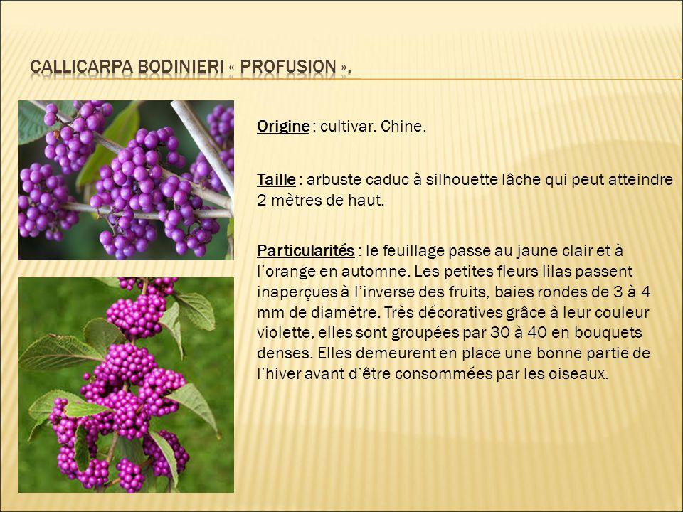 CALLICARPA BODINIERI « PROFUSION ».