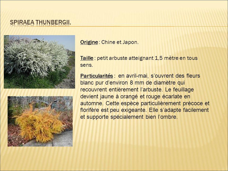 Spiraea thunbergii. Origine : Chine et Japon.