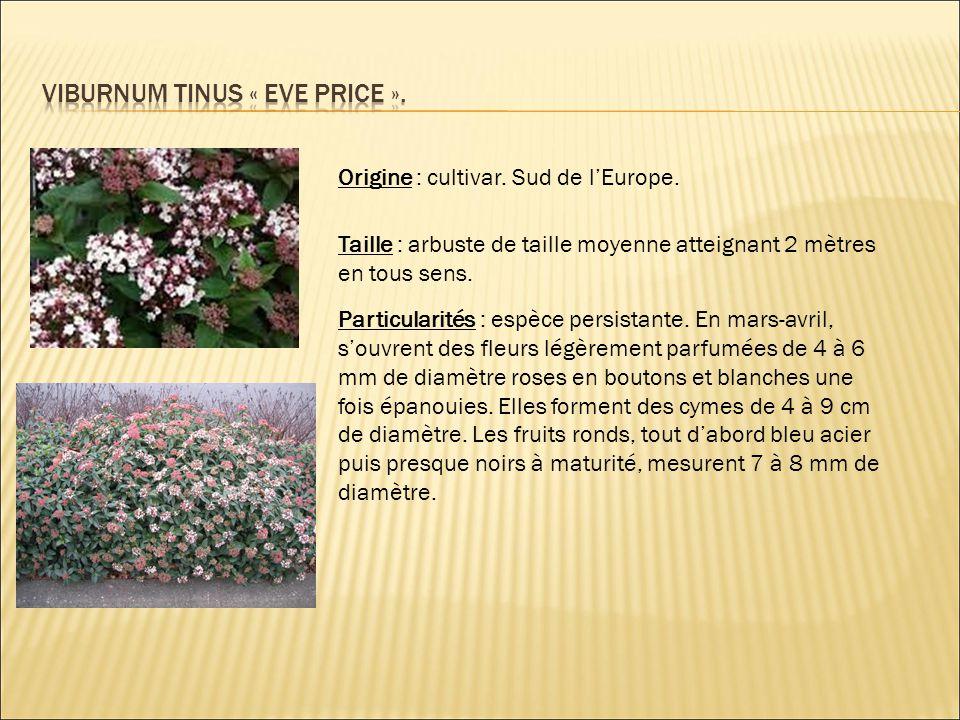Viburnum tinus « eve price ».