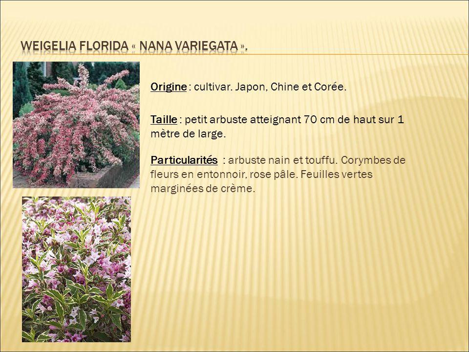 Weigelia florida « nana variegata ».