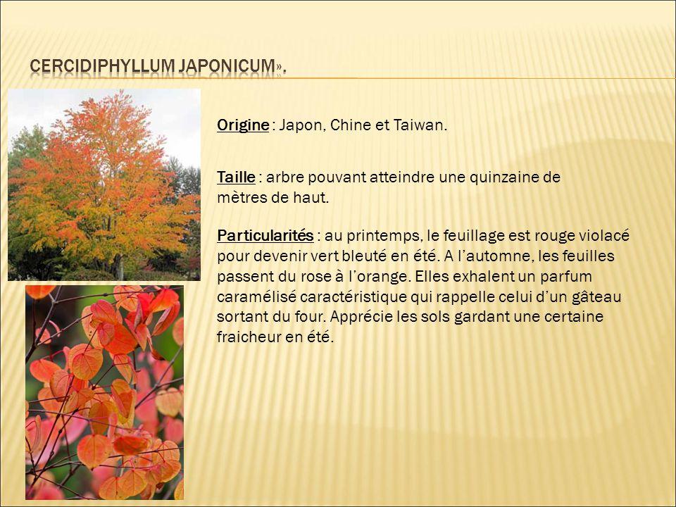 Cercidiphyllum japonicum».