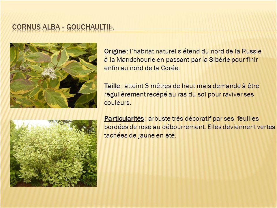 Cornus alba « gouchaultii».