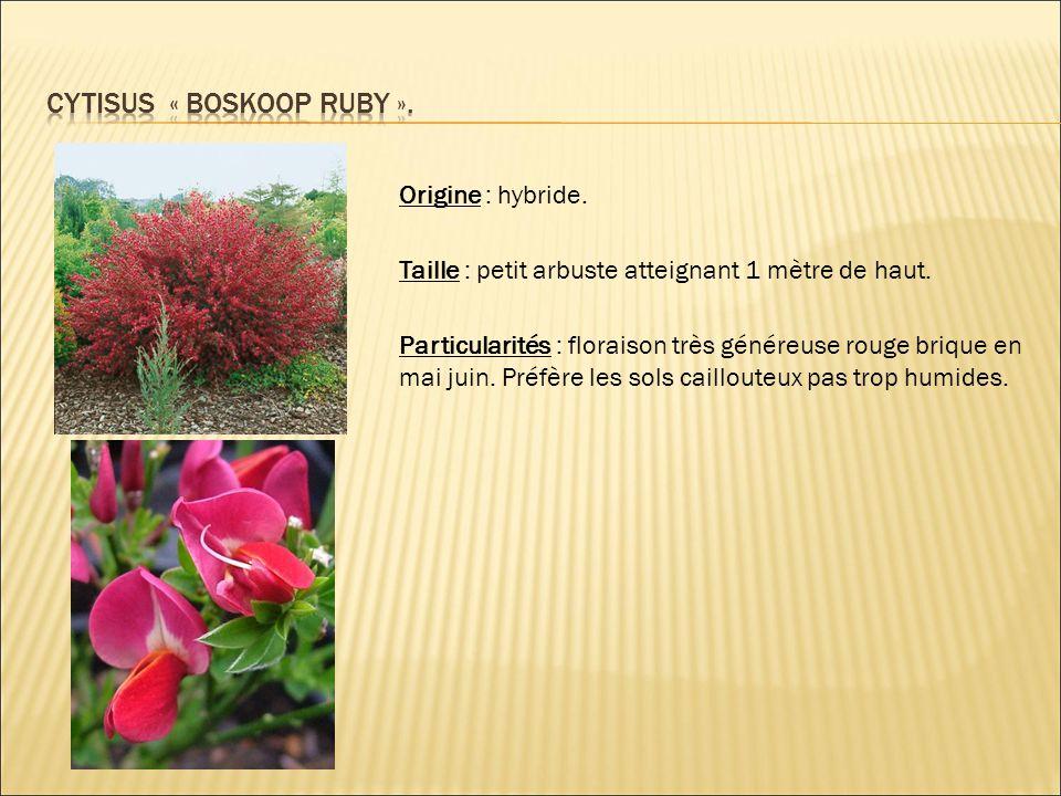 Cytisus « boskoop ruby ».