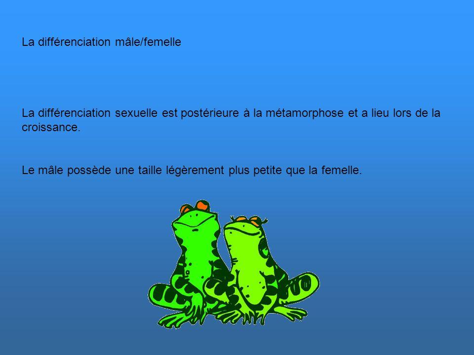 La différenciation mâle/femelle
