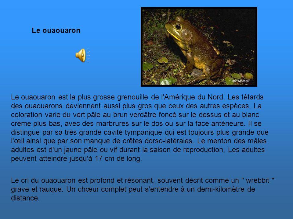 Le ouaouaron