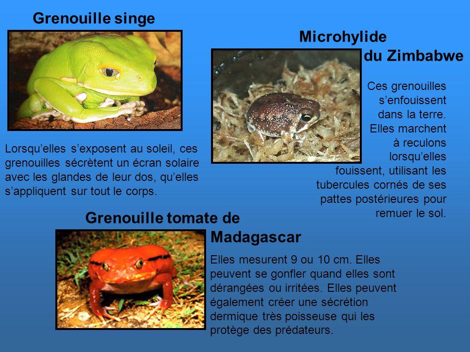 Grenouille singe Microhylide du Zimbabwe Grenouille tomate de