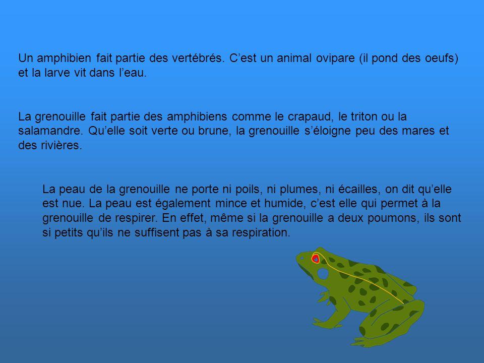 Un amphibien fait partie des vertébrés