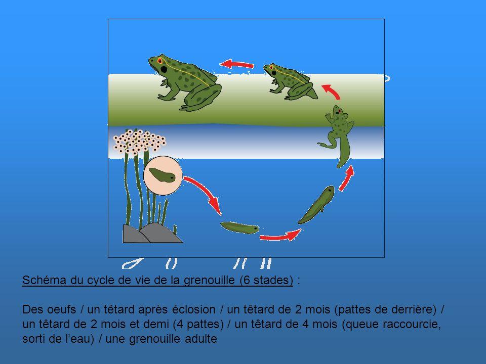 Schéma du cycle de vie de la grenouille (6 stades) :