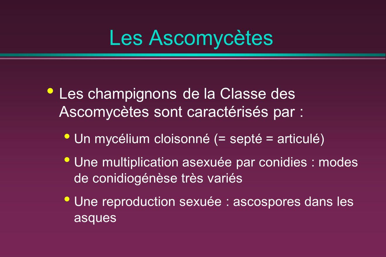 Les Ascomycètes Les champignons de la Classe des Ascomycètes sont caractérisés par : Un mycélium cloisonné (= septé = articulé)