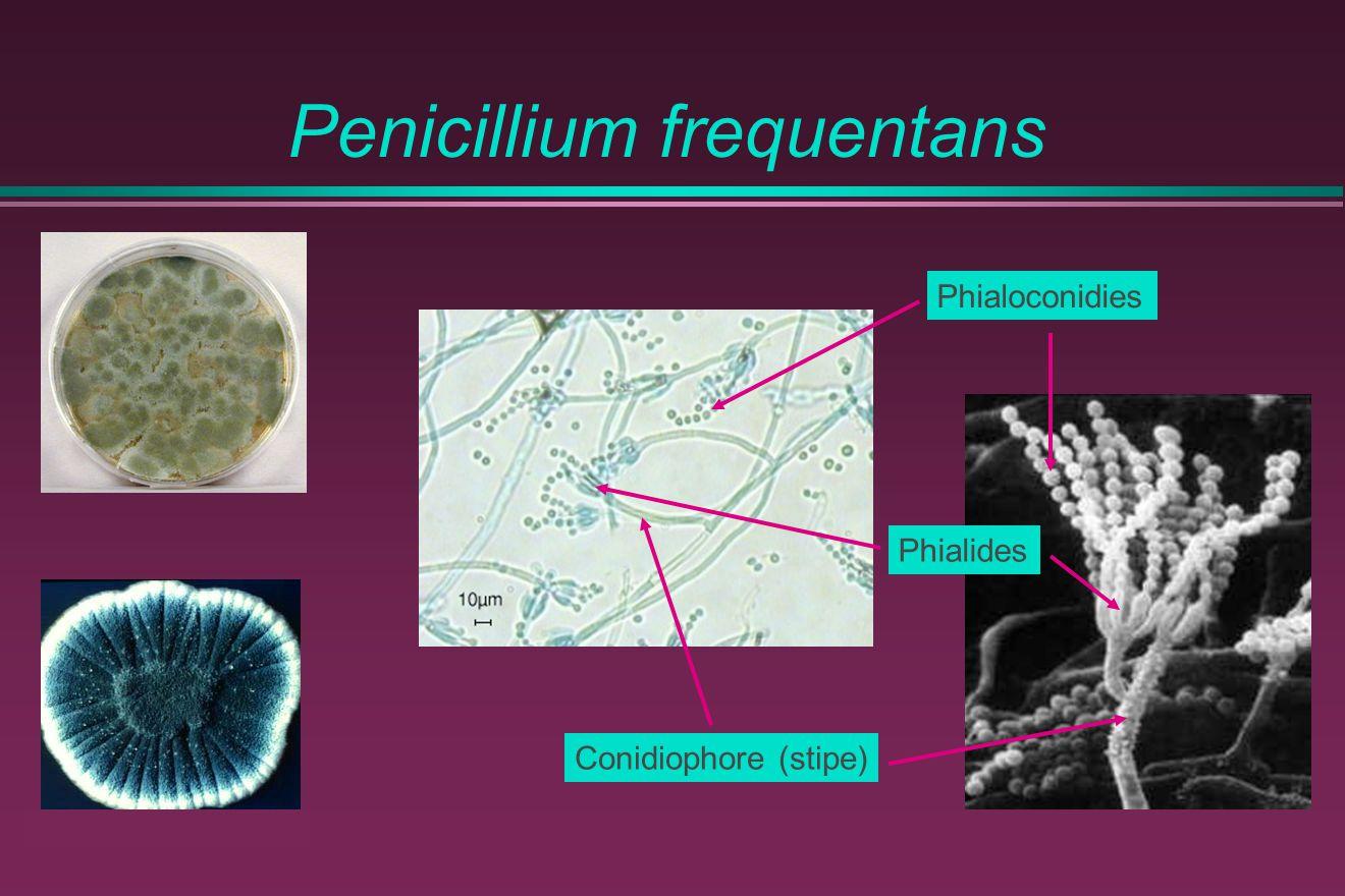 Penicillium frequentans