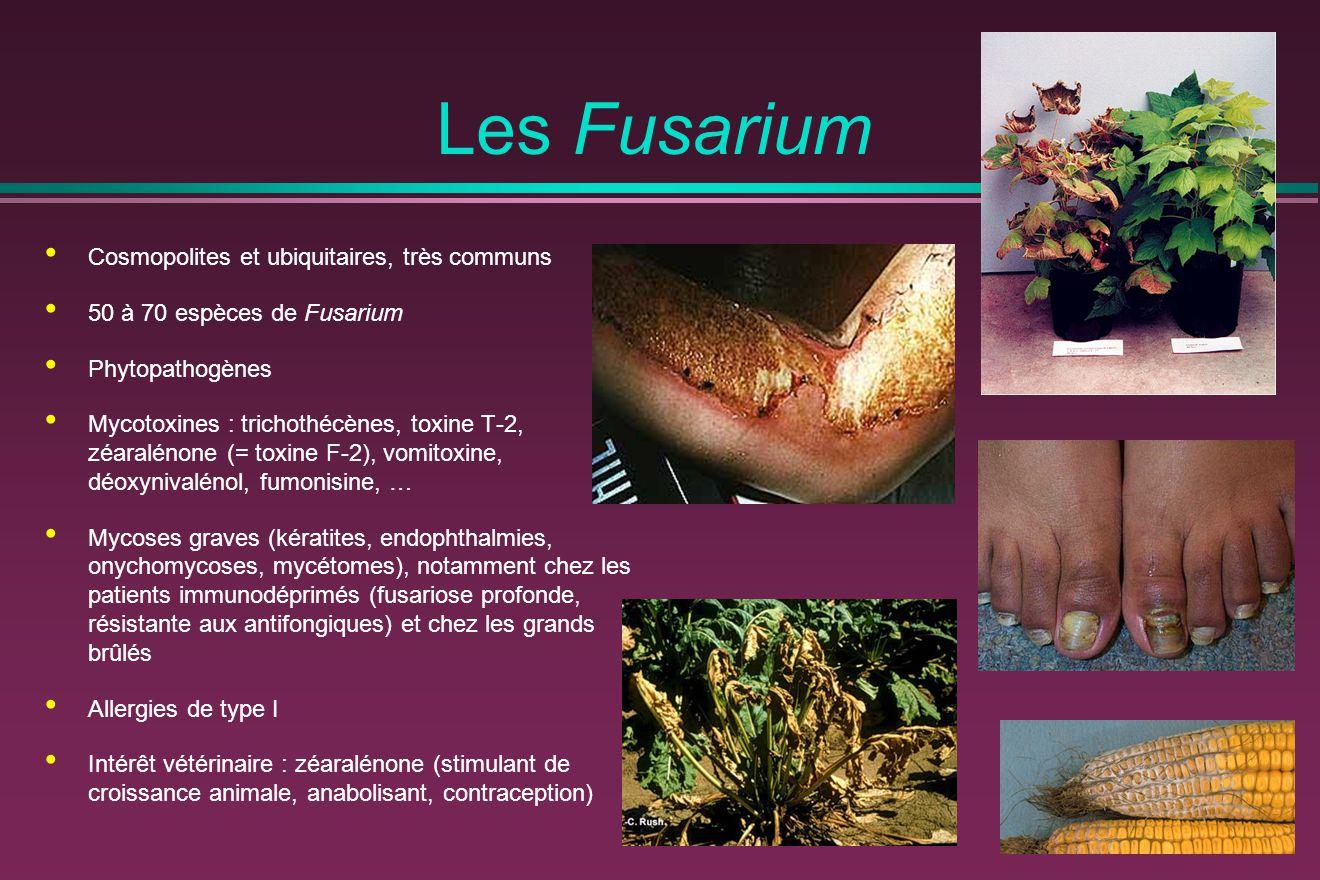 Les Fusarium Cosmopolites et ubiquitaires, très communs