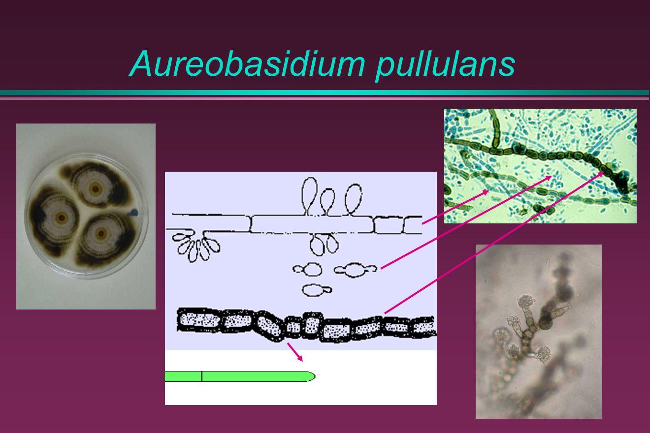 Aureobasidium pullulans